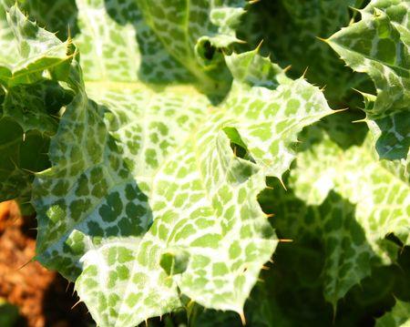 Spiky mottled plant