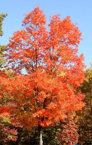 Fiery red tree