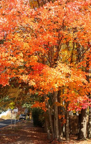 Fiery orangered tree