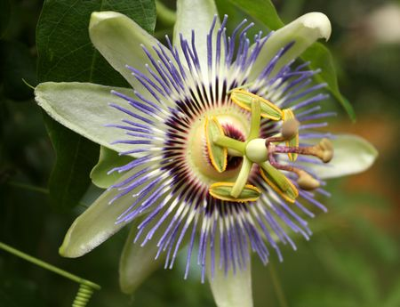 Passionflower2
