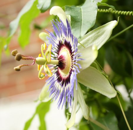 Passionflower side view