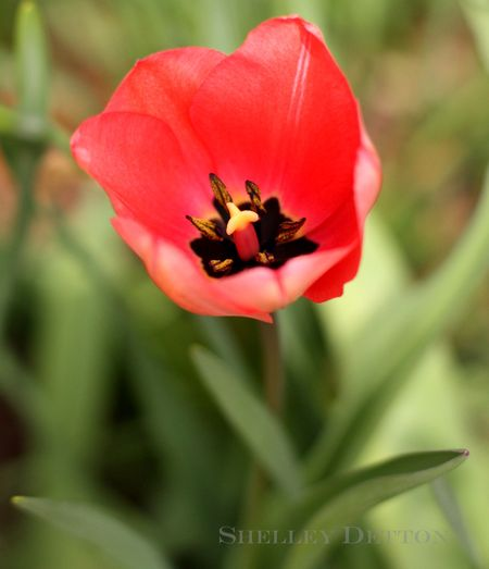 Tulip-named