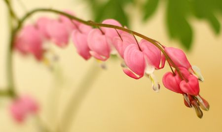 Bleeding hearts1