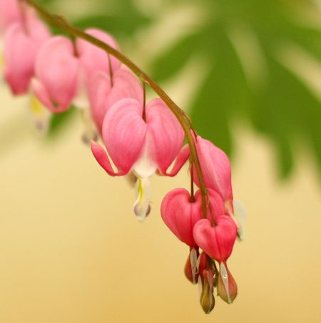 Bleeding hearts3
